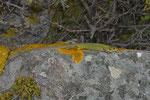 Riesensmaragdeidechse (Lacerta trilineata dobrogica), Weibchen