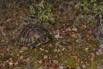 Griechische Landschildkröte (Testudo hermanni boettgeri)