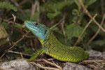 Viele Smaragdeidechsen sind von Zecken befallen