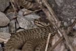 Schlingnatter-Weibchen