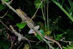 Streifenbasilisken (Basiliscus vittatus), schlafendes Pärchen