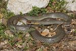 Kaspische Pfeil- oder Zornnatter (Dolichophis caspius)