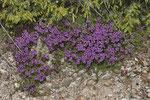Thymian (Thymus sp.)