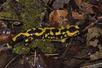 Feuersalamander-Weibchen (Salamandra s. terrestris) mit ungewöhnlichem Fleckenmuster