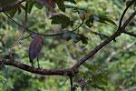 Tiger- oder Nacktkehlreiher (Tigrisoma mexicanum)