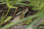 Europäisches Schlangenauge (Ophisops elegans macrodactylus)