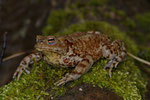 Erdkröte (Bufo b. bufo), Weibchen