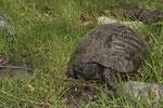 Viele Landschildkröten auf Samothraki sind fast schwarz und ähneln mit dem hinten aufgeschwungenen Rand des Rückenpanzers der Breitrandschildkröte (Testudo marginata)