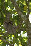 Braunkehl-Faultier (Bradypus variegatus), Parque Nacional Cahuita