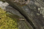 Smaragdeidechsen-Weibchen aus der Südschweiz
