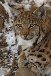 Luchs (Lynx lynx), Tierpark La Garenne, Le Vaud