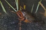 Grasfrösche (Rana t. temporaria) bei der Paarung
