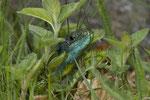 Smaragdeidechse, Männchen in der Krautschicht