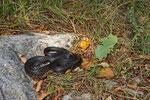 Weibliche Karbonarschlange in ihrem Lebensraum