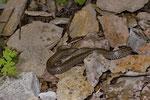 Trächtiges Schlingnatter-Weibchen