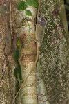 Helmleguan (Corytophanes cristatus)