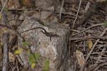 Prachtkieleidechse (Algyroides n. nigropunctatus), Männchen