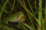 Rufendes Laubfrosch-Männchen