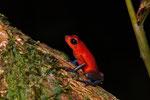 Erdbeerfröschchen (Oophaga pumilio), rot-blaue Morphe