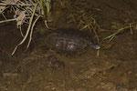 Balkan-Bachschildkröte (Mauremys rivulata) bei der Jagd auf einen Seefrosch (Pelophylax ridibundus)