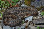 Weibchen aus dem Berner Oberland