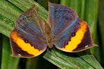 Indisches Blatt (Kallima inachus)