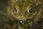 Portrait einer Kreuzkröte