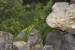 Riesensmaragdeidechse (Lacerta trilineata major), Männchen