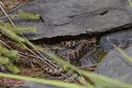 Die neugeborene Schlange kriecht am Muttertier vorbei und wird sich in wenigen Augenblicken häuten