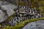 Alpenviper, Männchen aus dem Berner Oberland