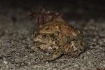 Erdkröte (Bufo b. bufo), Pärchen auf der Wanderung zum Laichgewässer