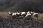 Schafe auf karger Weide