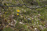 Waldtulpen (Tulipa sylvestris)