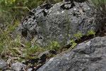 Ruineneidechse (Podarcis siculus campestris), Männchen