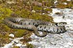 Weibchen erreichen Längen weit über einen Meter.