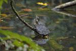 Schmuckschildkröten (Trachemys scripta ssp.)