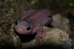 Feuersalamander (Salamandra s. terrestris), leuzistisches Exemplar