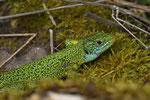 Smaragdeidechse, Männchen aus dem Elsass