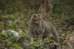 Europäische Wildkatze oder Waldkatze (Felis silvestris), Wildnispark Zürich Langenberg