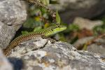 Ruineneidechse (Podarcis siculus campestris), Weibchen