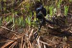 Fotografieren laichender Grasfrösche mit Stativ und Fernauslöser