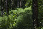 Schachtelhalm-Wald, Clos du Doubs