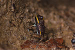Blattsteiger (Phyllobates lugubris), Männchen mit Kaulquappen auf dem Rücken