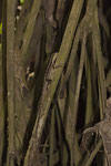 Weiblicher Streifenbasilisk (Basiliscus vittatus)