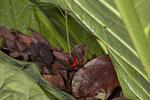 Erdbeerfröschchen (Oophaga pumilio), rufendes Männchen