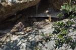 Bergotter-Männchen vor seinem Versteck