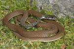 Schlanknatter (Platyceps najadum dahlii)