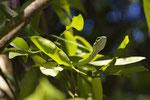 Papageienschlange (Leptophis ahaetulla)