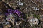 Alpenveilchen (Cyclamen sp.)