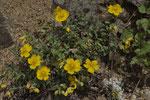 Gelbe Sonnenröschen (Helianthemum nummularium)